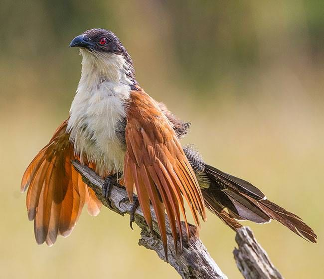 Burchell's Coucal St Lucia