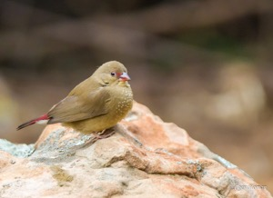 Male and female Red-billed Firefinch