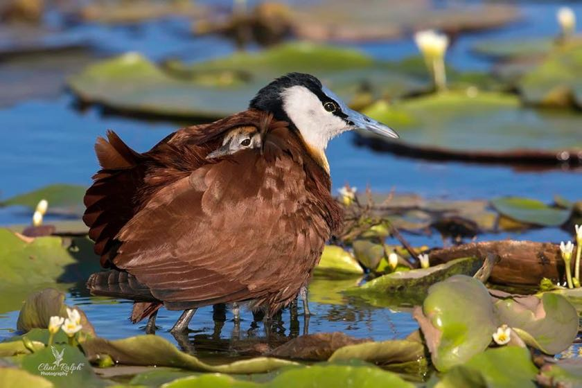 An African Jacana with its 4 chicks