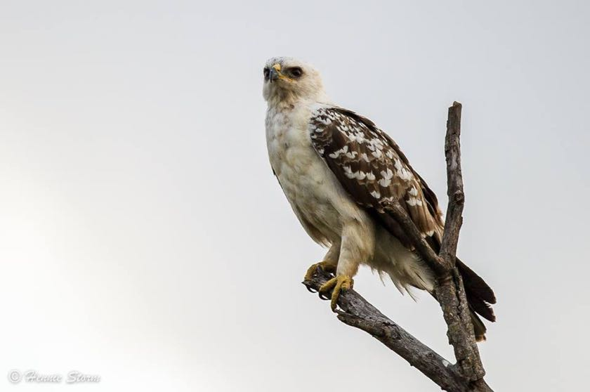 White morph of the Wahlbergs Eagle