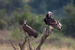 White-headed and Hooded Vultures