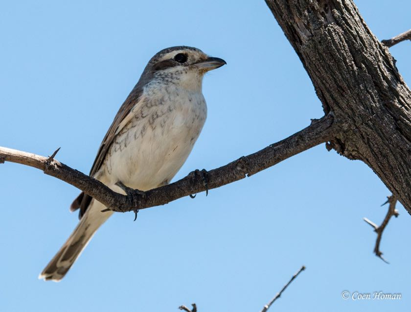 Red-backed Shrike female