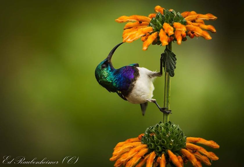 White-bellied Sunbird