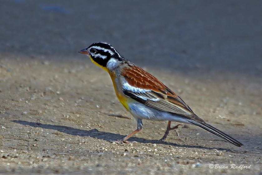 Golden-breasted Bunting