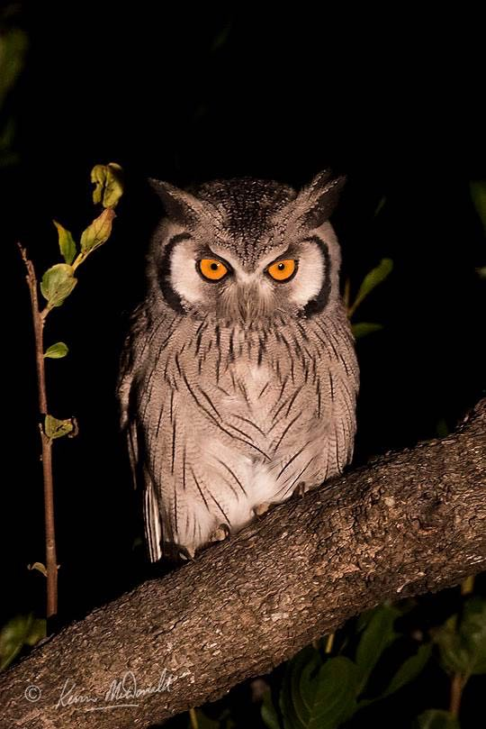 Southern White-faced Scops-Owl