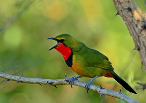 Gorgeous Bush-Shrike