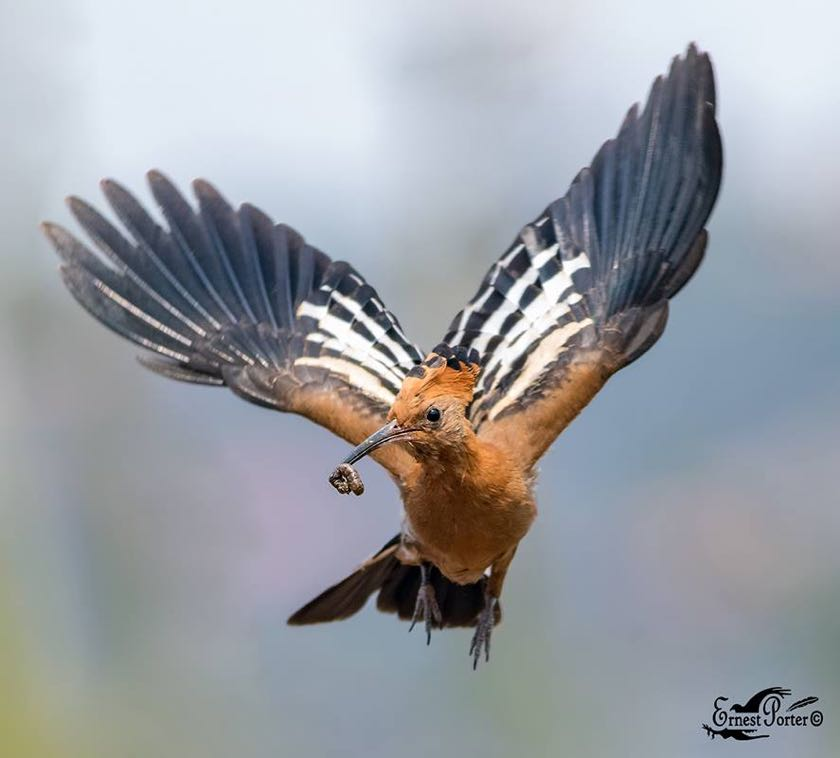 African Hoopoe in flight
