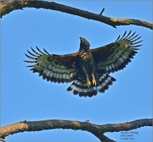 The San Lameer adult male Crowned Eagle