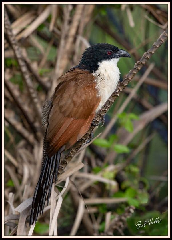 Burchell's Coucal
