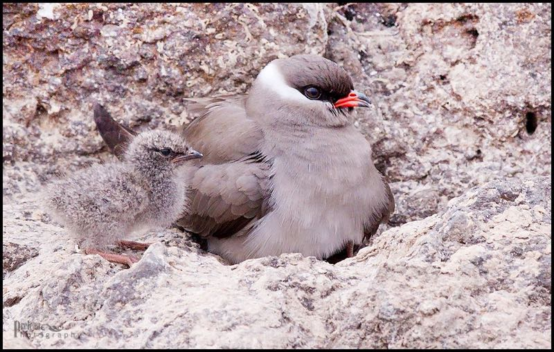 Rock Pratincole with chick