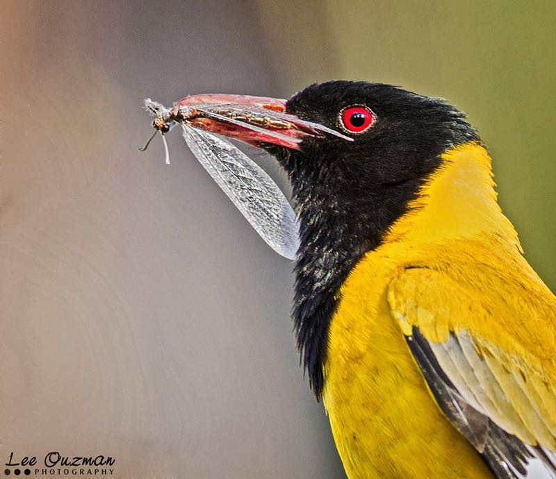 Black-headed Oriole with lunch