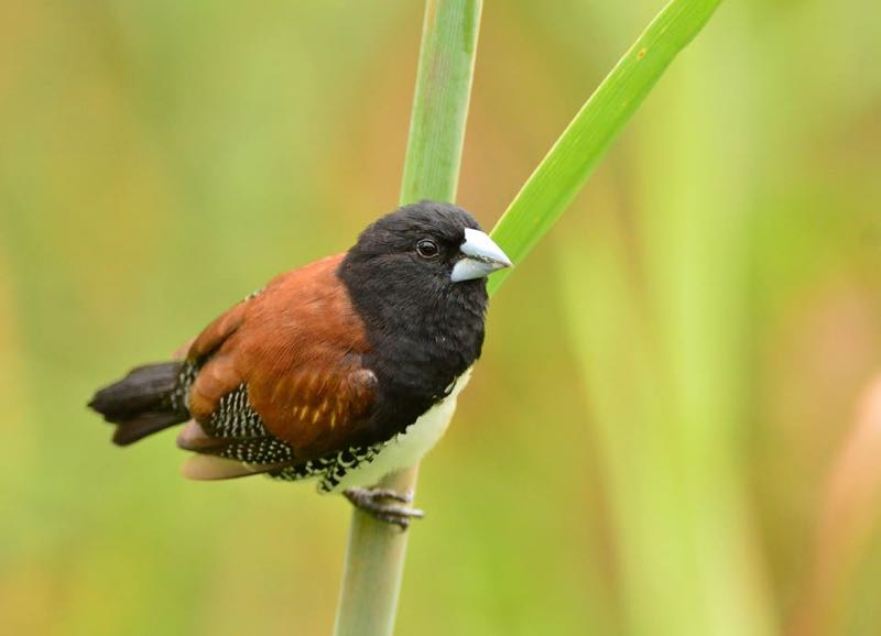 Red - Backed Mannikin