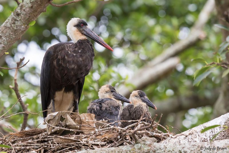 Woolly-necked Stork with chicks