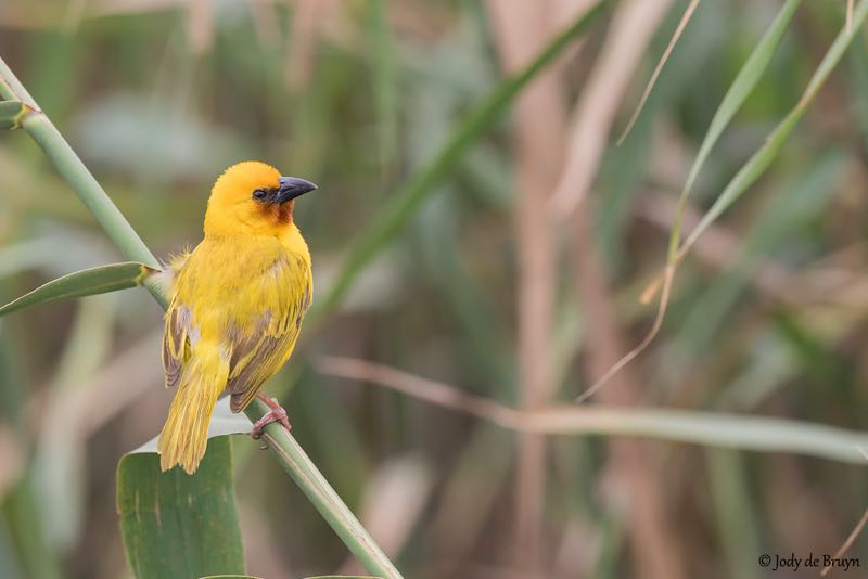 Brown-throated Weaver