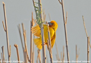 Southern Brown-throated Weaver
