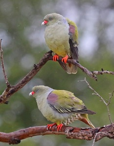African Green Pigeons in the rain at Londolozi