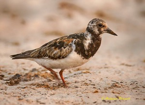 Ruddy Turnstone in partial breeding plumage