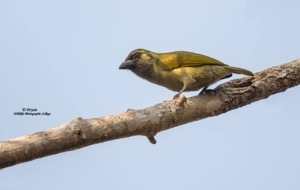 The very uncommon and elusive Green Barbet