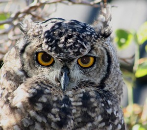 young Cape Eagle-Owl