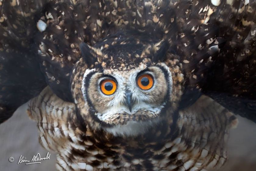 Cape Eagle Owl gives me a threat display