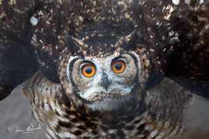 Cape Eagle-Owl gives me a threat display