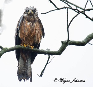 Black Kite after the rain