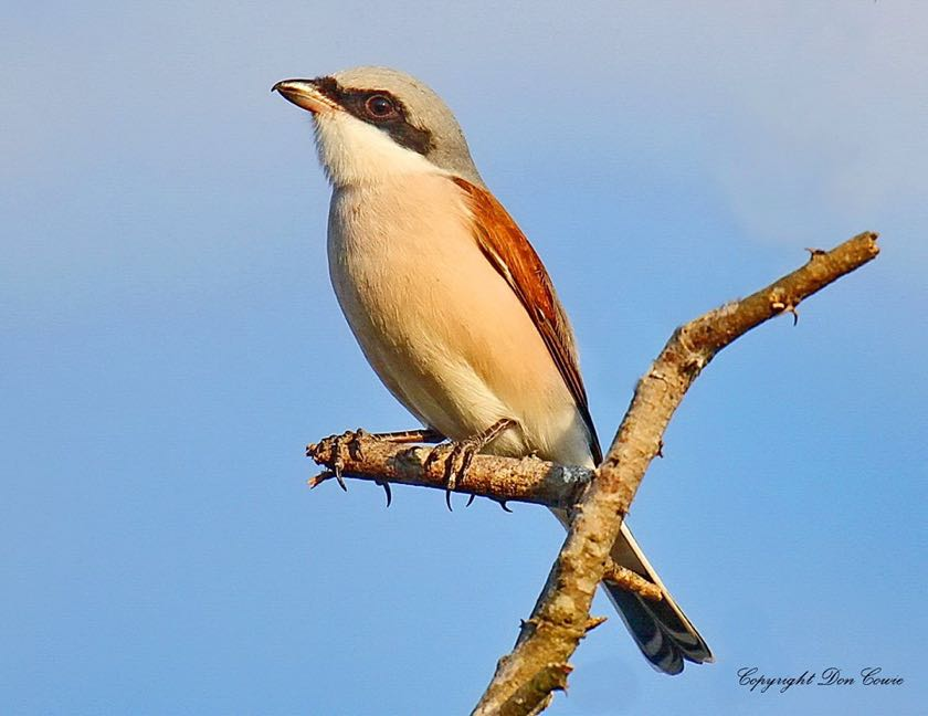 Red-backed Shrike Male