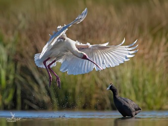 Spoonbill annoyed with Coot