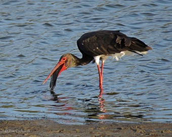 So an adult Black Stork is 'helping' him eat it