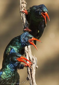 Singing Wood-hoopoe