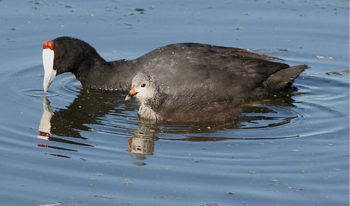 Red-knobbed Coot with chick