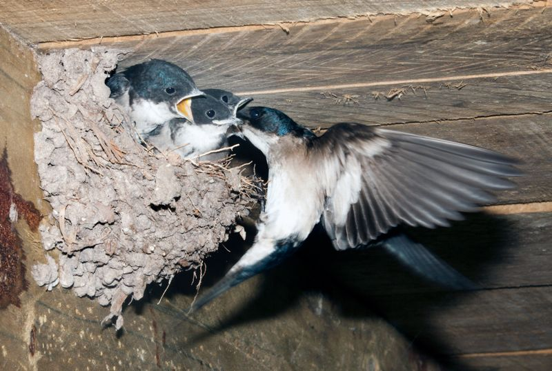 Pearl-breasted Swallow at nest