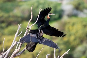 Anhinga fight
