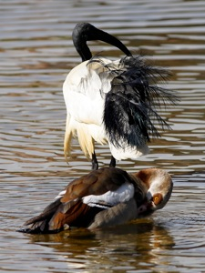 African Sacred Ibis and Egyptian Goose