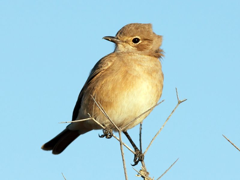 Chat Flycatcher