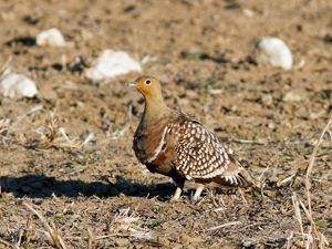 Namaqua Sandgrouse male