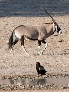 Gemsbok and Bateleur