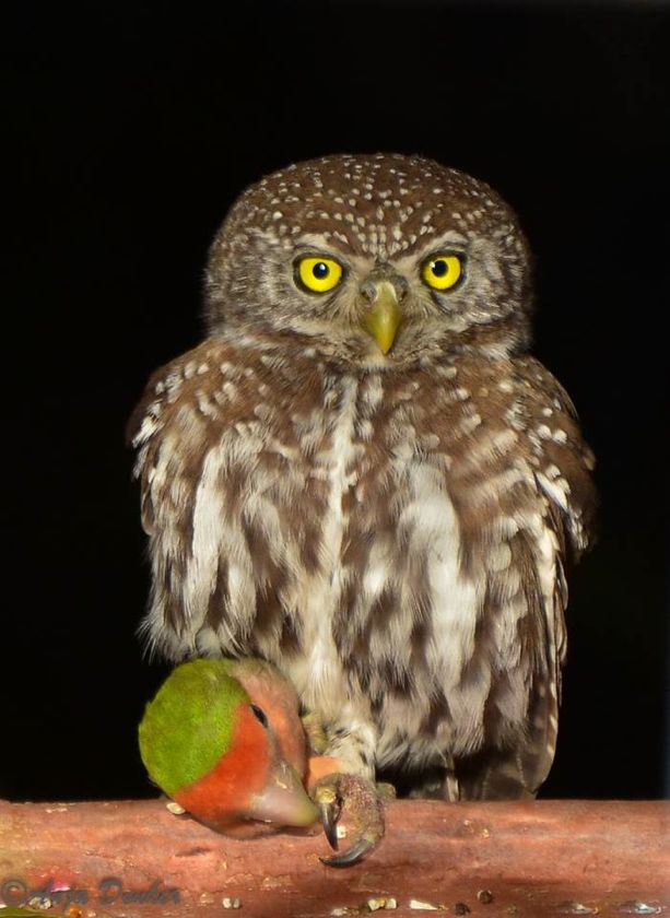 Pearl-spotted owlet with rosy-faced lovebird catch