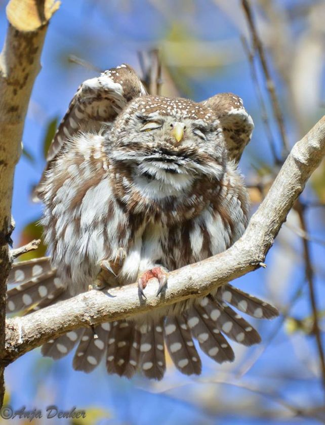 Pearl-spotted owlet stretching