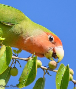 Rosy-faced Lovebird in our garden