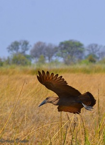 Hamerkop in flight - Caprivi