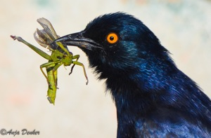Glossy Starling with prey