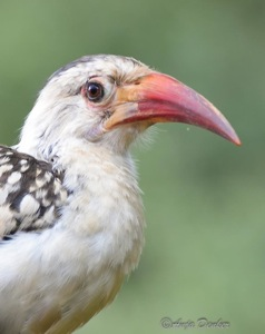 Damara Hornbill in our garden