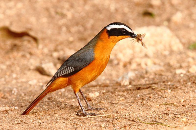 White-browed Robin-Chat with beak full of termite alates