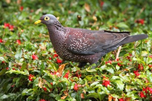 African Olive-Pigeon