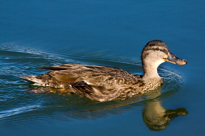 Yellow-billed Duck female