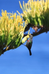 Southern Double-collared Sunbird juv