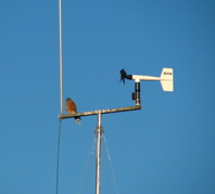 Rock Kestrel on the wind-generator