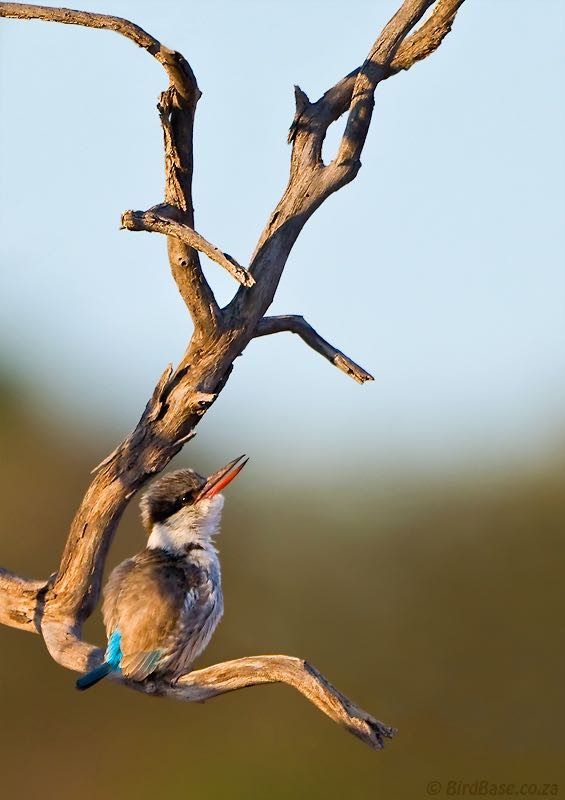 Striped Kingfisher calling