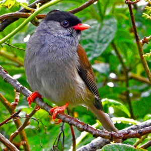 Bush Blackcap